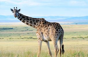 肯尼亚观看野生动物特色之旅10日游