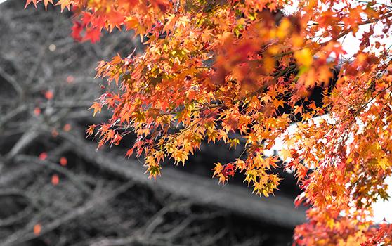 泡温泉、吃和牛幸福炸裂!超美的日本赏枫之旅,你还在等什么?