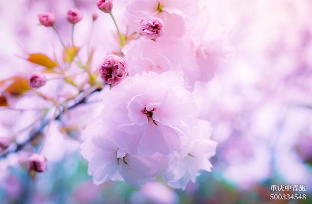 【賞櫻】日本本州三古都、東京、奈良、京都、鐮倉、富士山雙飛6日游(坂東)